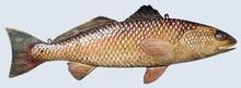 Fishtales Wooden Redfish