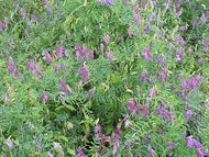 Organic Hairy Vetch