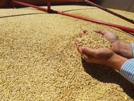 UC937 Barley