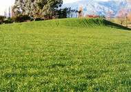 Calibra Tetraploid Perennial Ryegrass