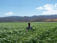 Piper Sudangrass