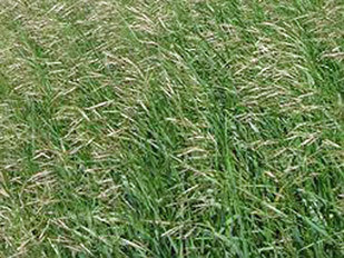 Smooth Bromegrass Seeds - Bromus inermis | American Meadows  |Smooth Bromegrass Seed