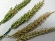Hayes Beardless Barley