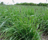 Pauite Orchardgrass Coated