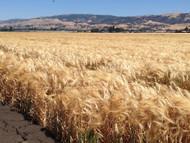 Organic UC937 Barley