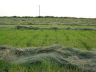 Corvallis Teff Grass