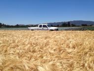 UC969 Barley