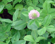 Starfire II Red Clover OMRI Coated
