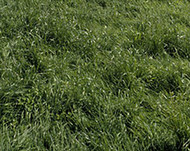 Ryegrass, Bestfor Intermediate