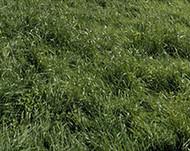 Ryegrass, Bestfor Intermediate