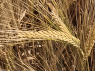 UC Tahoe Barley (Malting, 2 row)