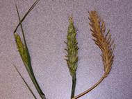 VNS Barley