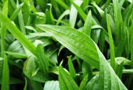 Boston Plantain OMRI coated