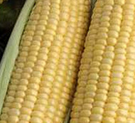 Xtra Tender 175A Super Sweet Yellow Corn