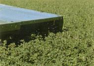 Ameristand 901TS Alfalfa