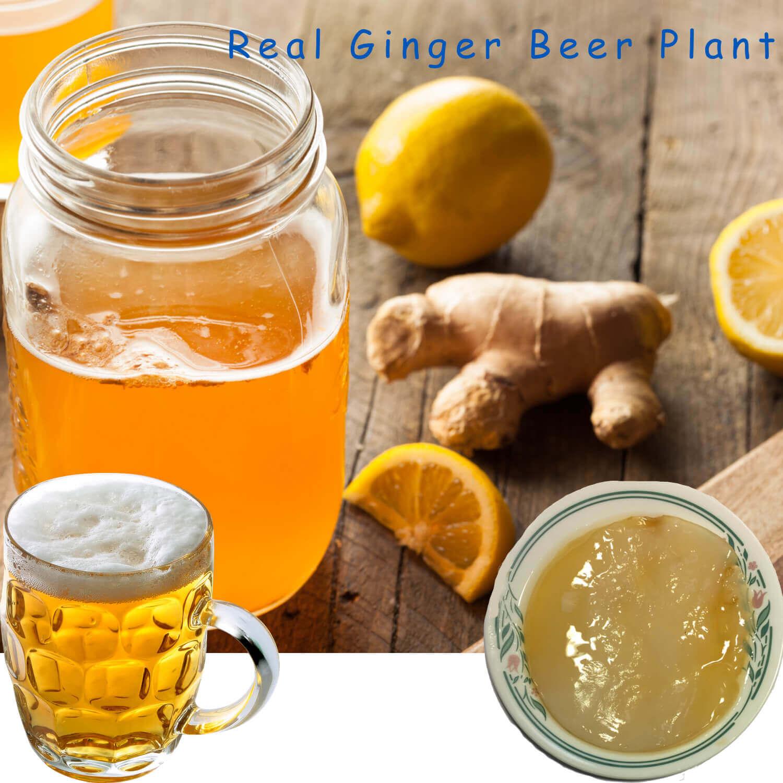 real-ginger-beer-plant-by-happyherbalist.jpg