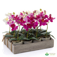 12 Orchids Potted with Tray