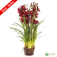 Burgundy Orchid 1.1m with paper pot