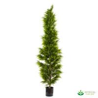 Cypress Pine Tree 2m