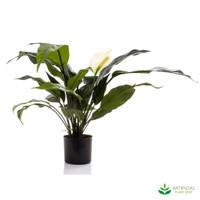 Spathiphyllum Lilly White 53cm