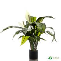 Spathiphyllum Lily White 63cm