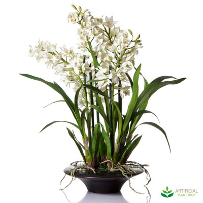 Cymbidium Orchid in Shallow Pot 70cm