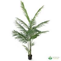Areca Palm 1.8m