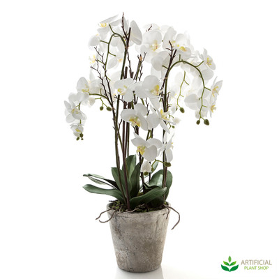 Large White Phal Orchid in Terracotta Pot  90cm