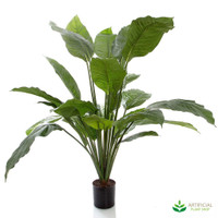 Spathiphyllum Potted 1m