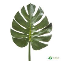 Monsteria Split-Leaf Philodendron 94cm (pack of 3)