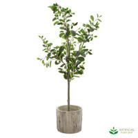 Ficus 1.5m in Woodland Pot