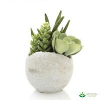 Mixed Succulent in Pot 17cm (set of 2)