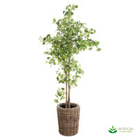Ginko Tree in Rattan Pot 2m