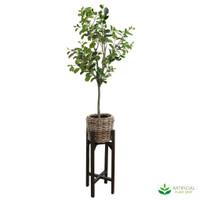 Ficus 1.5m in Rattan Pot Stand