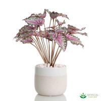 Begonia Leaves Bush in White Ceramic Pot 30cm (set of 2)