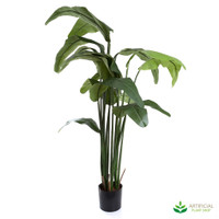 Travellers Palm 1.8m