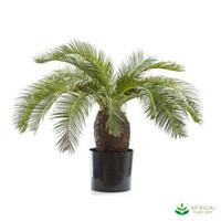 Cycus Palm 65cm