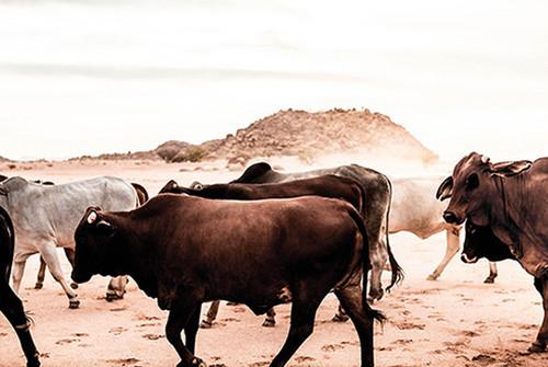 x1https://cdn3.bigcommerce.com/s-b76sgj/products/135/images/3844/namibiandrovingcattle-xl__08928.1527665022.1280.1280.jpgx2