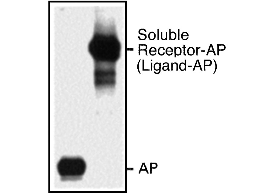 AP fusion protein expression image