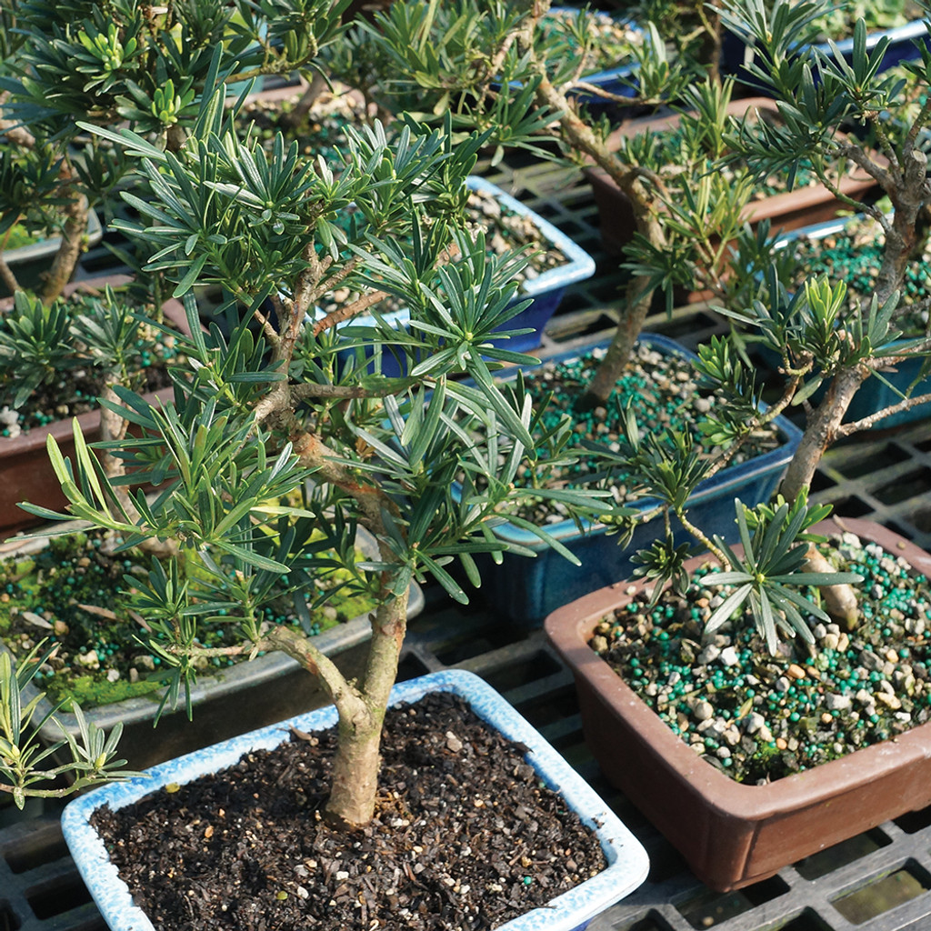 Medium Size Podocarpus Bonsai Tree Inventory