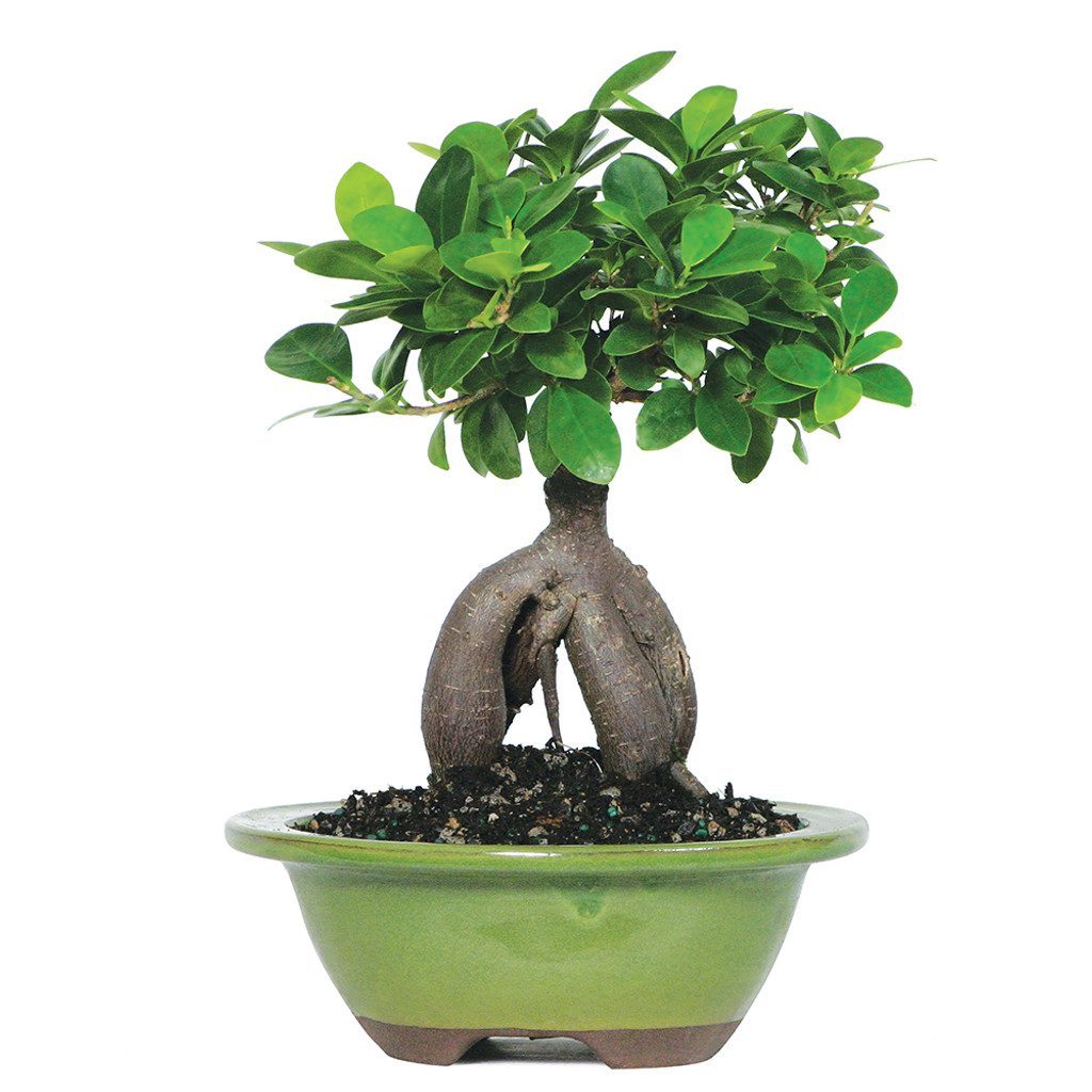 Small Size Ginseng Grafted Ficus Bonsai Tree