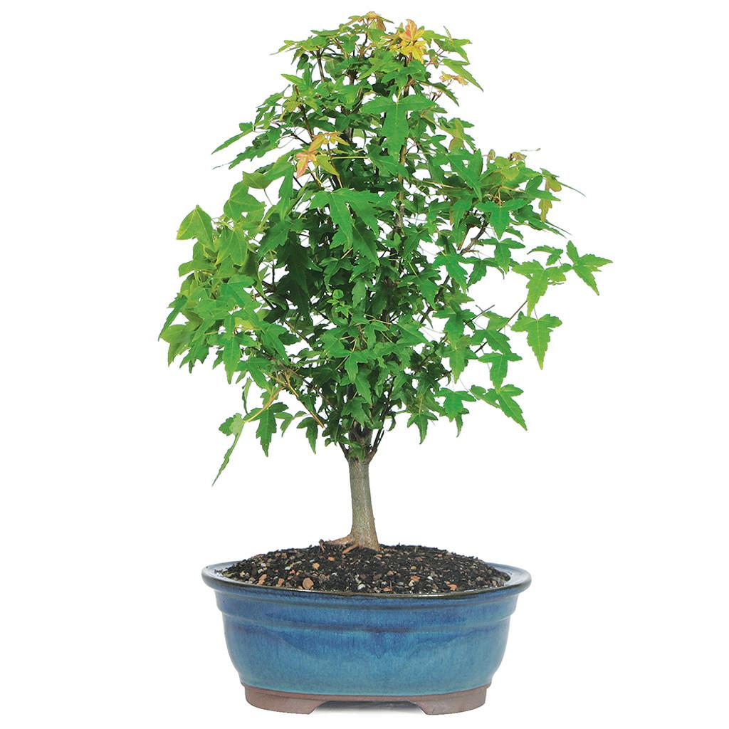 Small Size Trident Maple Bonsai Tree