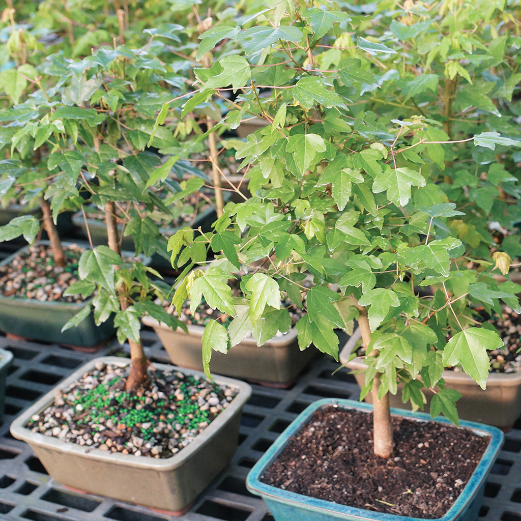 Small Size Trident Maple Bonsai Tree Multi Tree