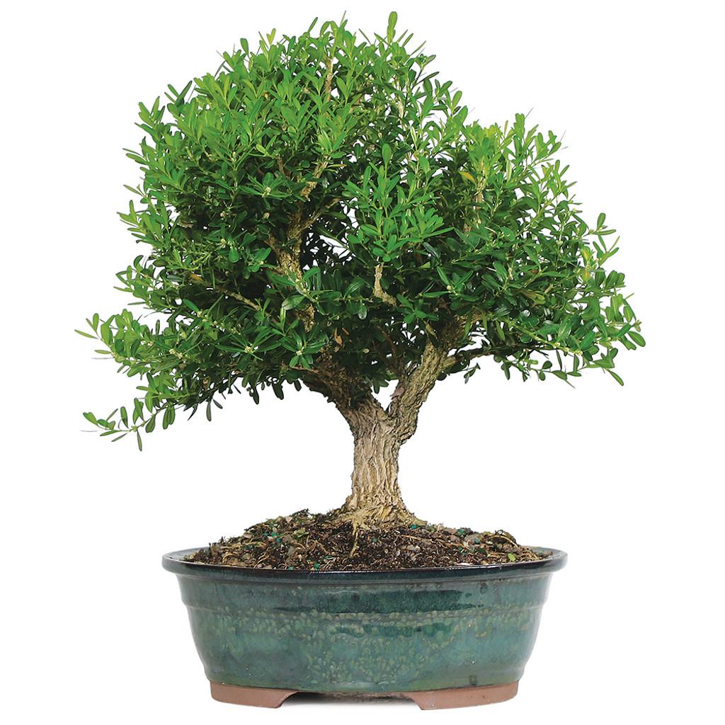 Large Size Harland Boxwood Bonsai Tree