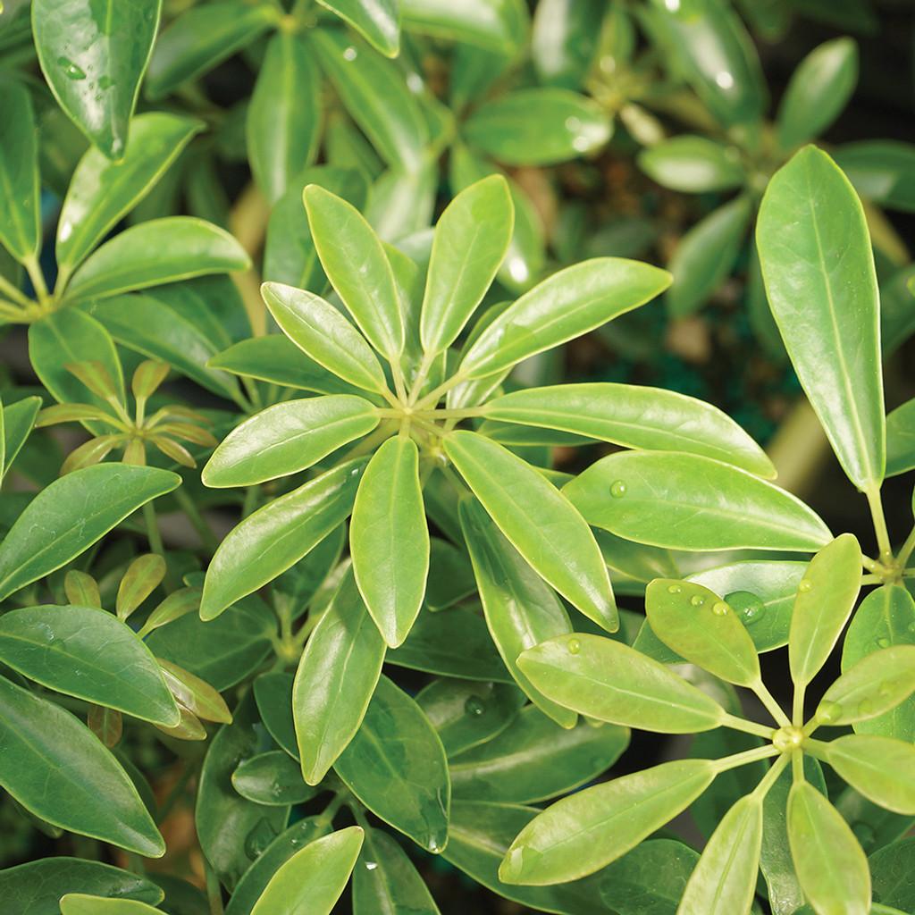Small Size Hawaiian Umbrella Bonsai Tree Foliage