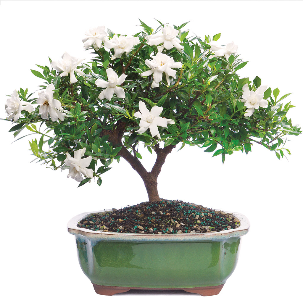 High Quality Gardenia   DT6022GR
