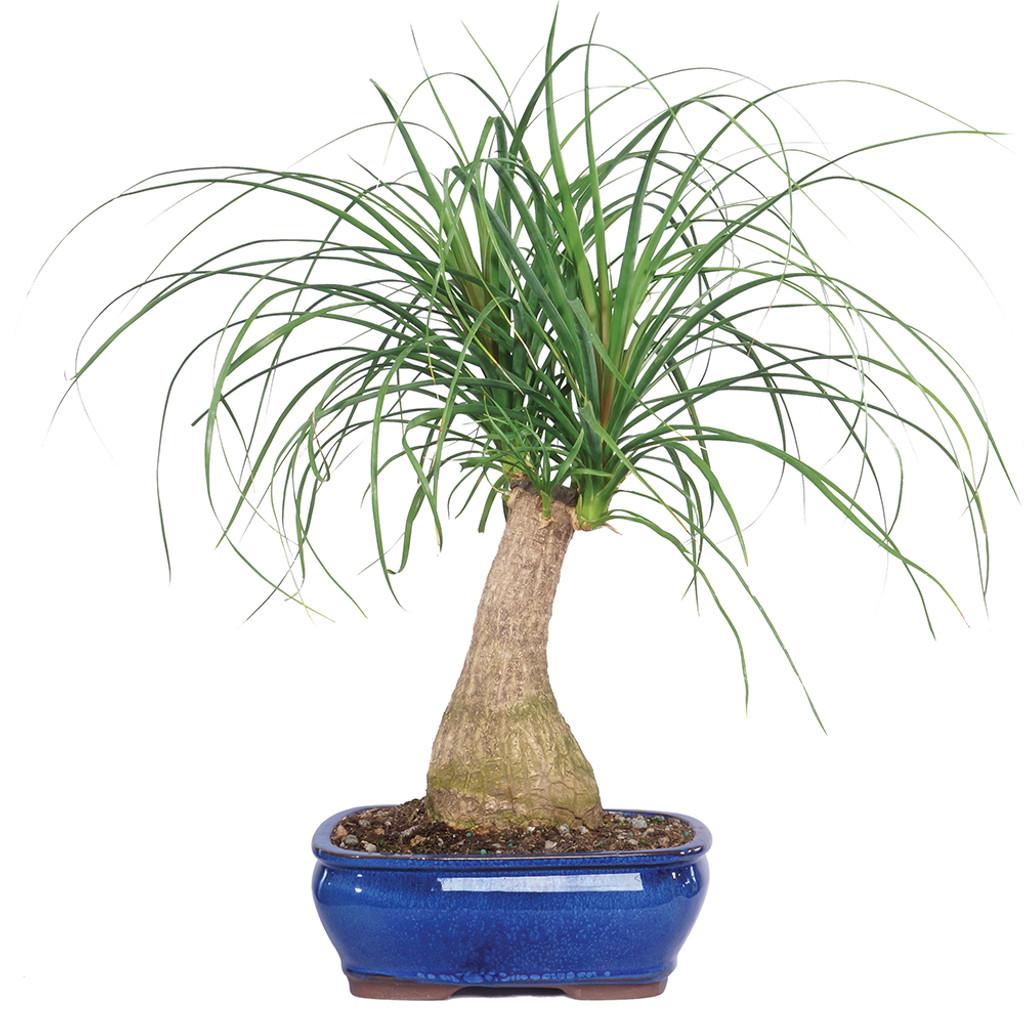 Medium Ponytail Palm Bonsai Tree