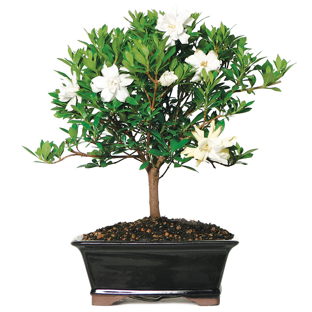 Medium Size Gardenia Bonsai Tree