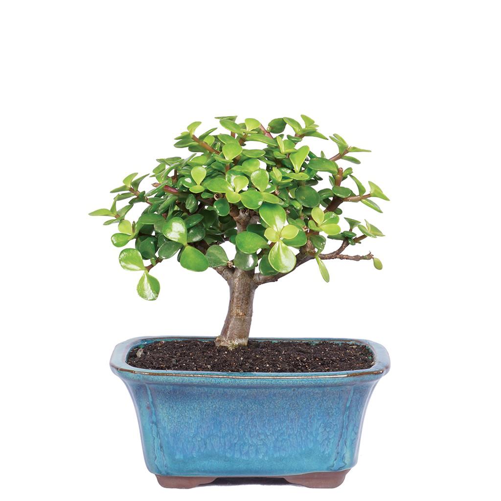 ... Small Size Dwarf Jade Bonsai Tree ...  sc 1 st  Brusselu0027s Bonsai & dwarf jade bonsai tree - easy care indoor beginner low light azcodes.com