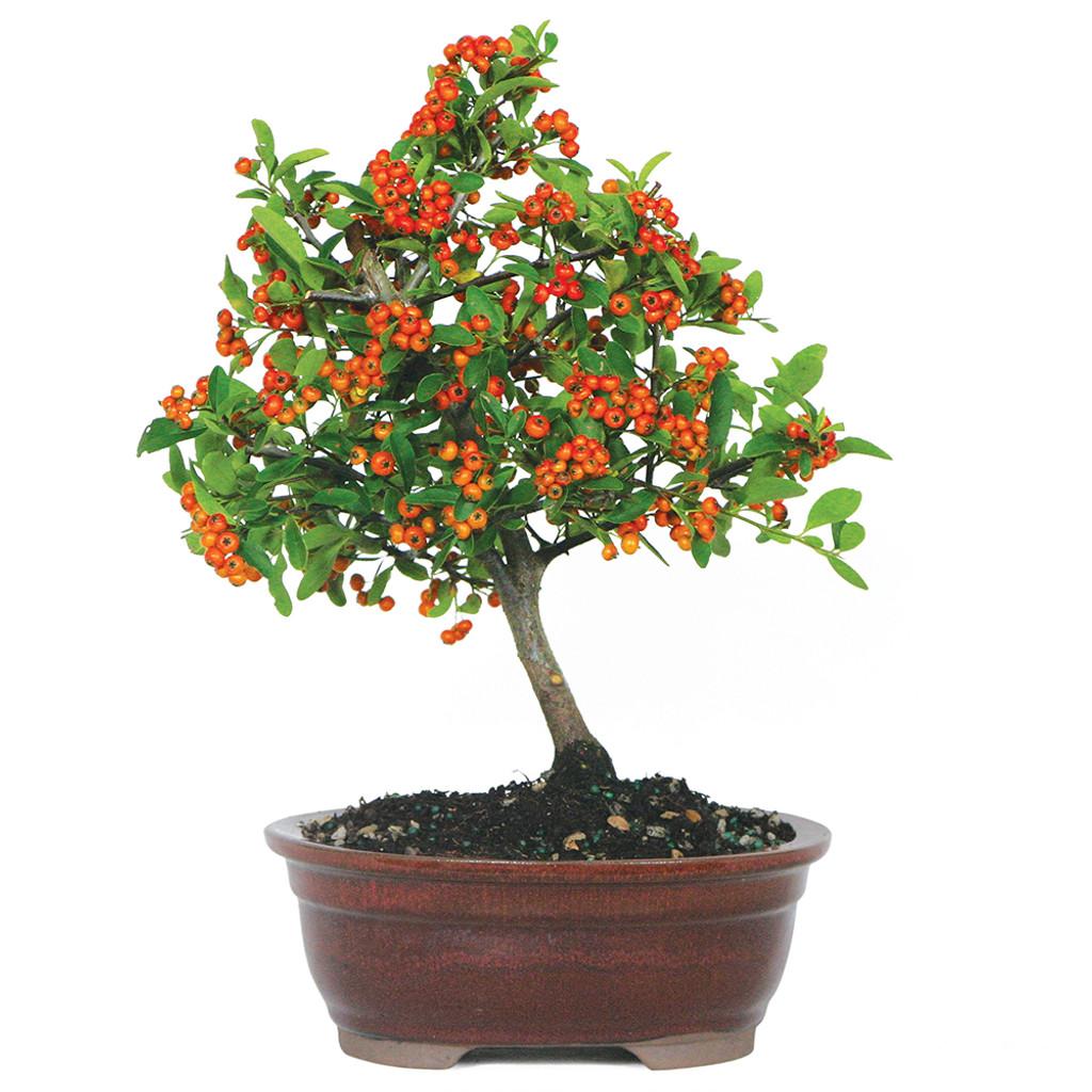 Small Size Dwarf Pyracantha Bonsai Tree